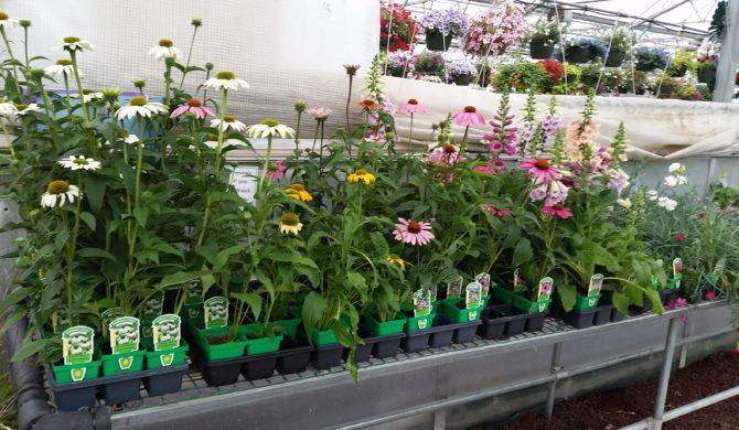 RSF 4″ Pot Perennials