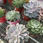 6″ Succulent Special