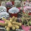 December 6″ Succulent Special
